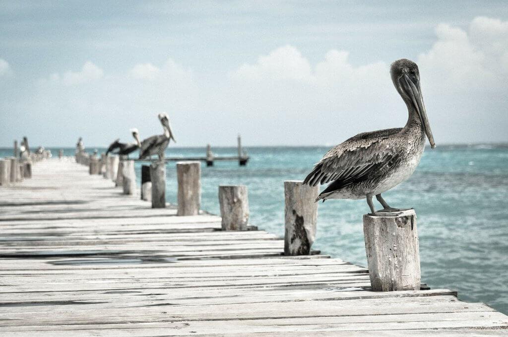 海辺でたたずむペリカン