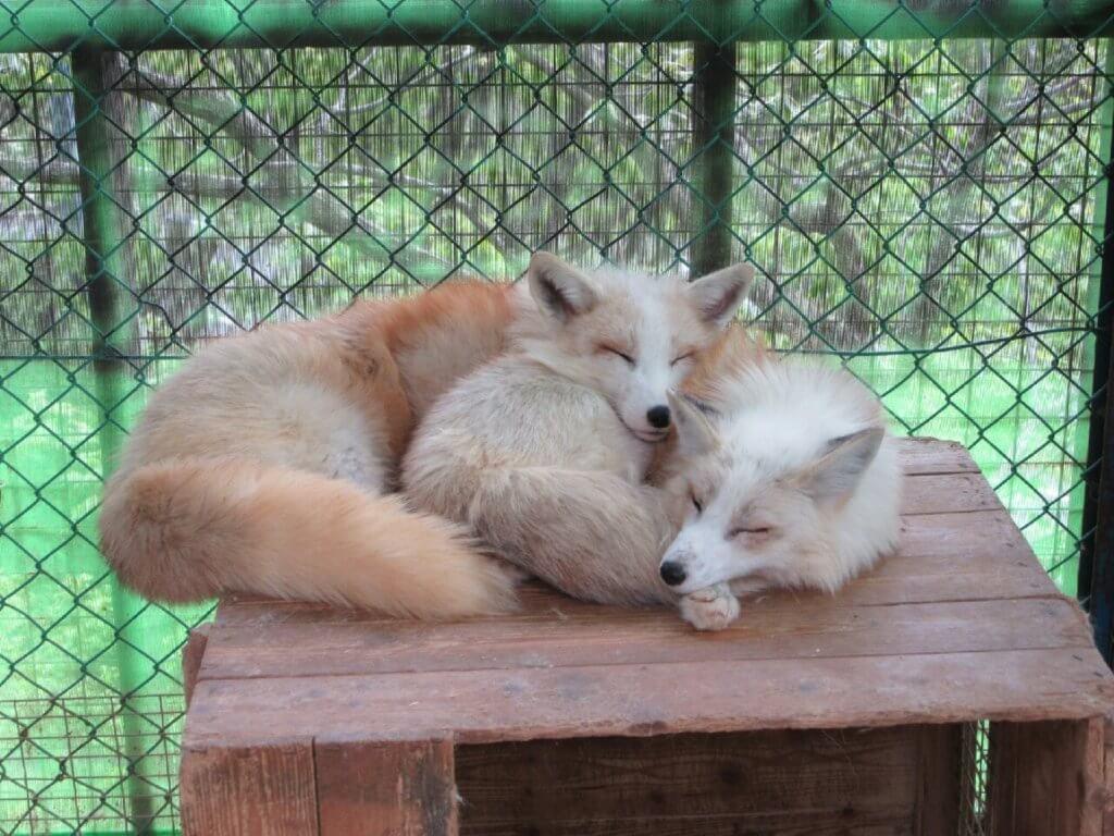 2匹寄り添って寝るキツネ
