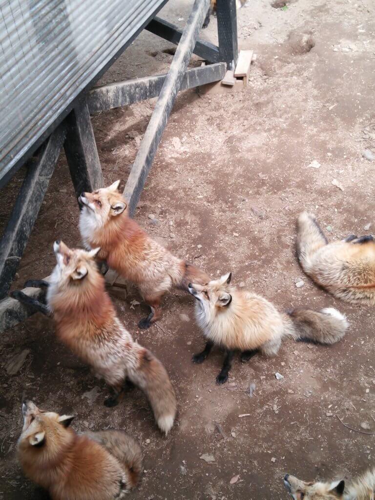餌やり場に集まるキツネ