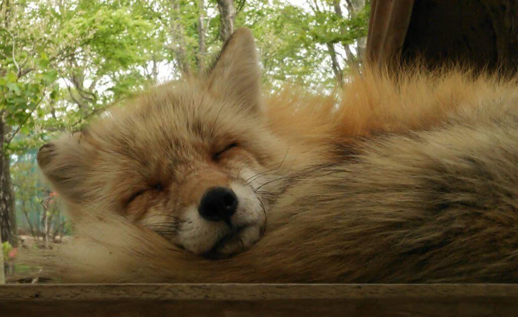 幸せそうに眠っているキツネ